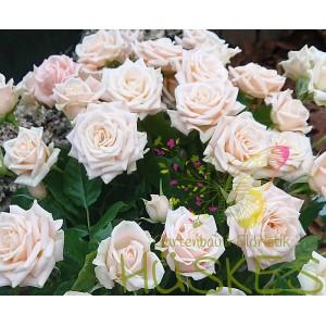 Spray-Rose weiß und rosa