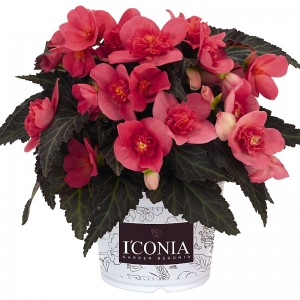 Begonie I'CONIA First Kiss Hot Pink