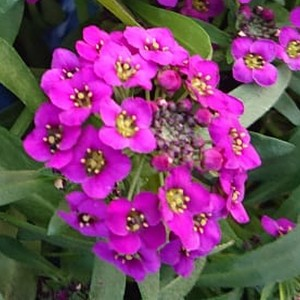 Lobularia hybrida 'Stream Purple'