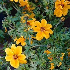 Bidens Goldzweizahn Yellow Sunshine