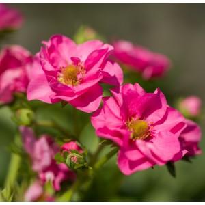 """Summer Breeze """"Cherry Blossom"""""""